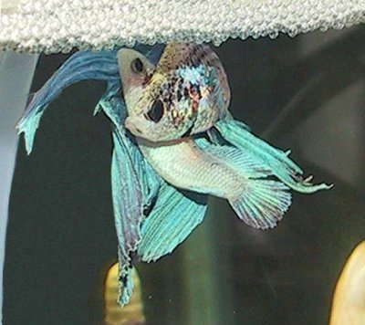 ikan laga bertelur, proses mengawan ikan laga, ikan lag